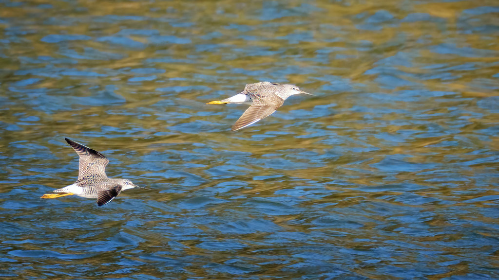 Yellowlegs flying over the inlet