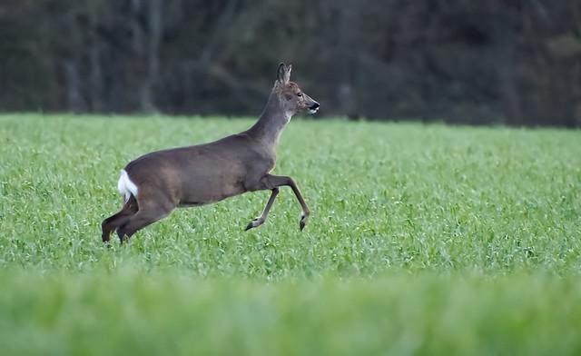 Run Run Roe Deer