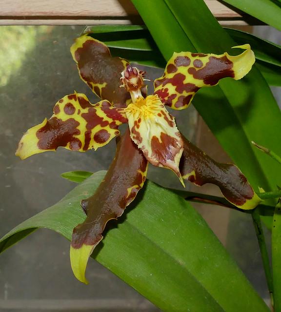 Oncidium hallii species orchid