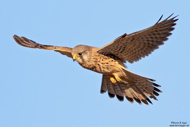 Kestrel, Falco tinnunculus