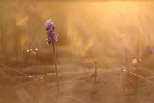Muscari botryoides in golden hour  05400540