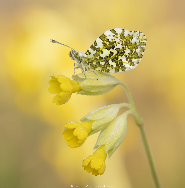 Male orange tip roosting on cowslip.