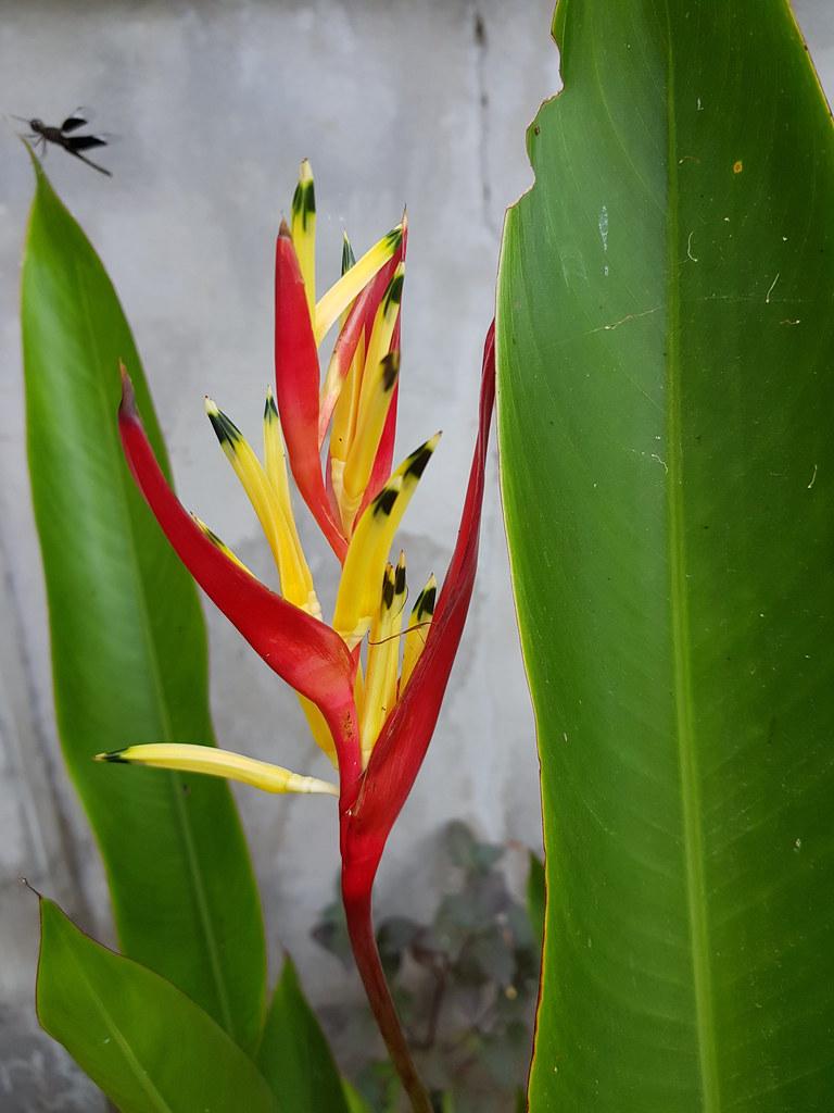 Heliconia psittacorum L.f. Heliconiaceae - Parrot's Beak, พุทธรักษาญี่ปุ่น