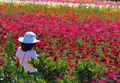 flowers fields pink orange red california garden carlsbad hat white beauty nature wow spendor color photography landscape appreciation wonder spring life vivid looking growing plants saturated ranniculus inspire dreams girl
