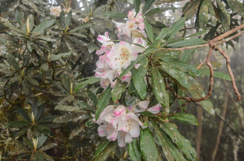 杜鵑花開 (2)