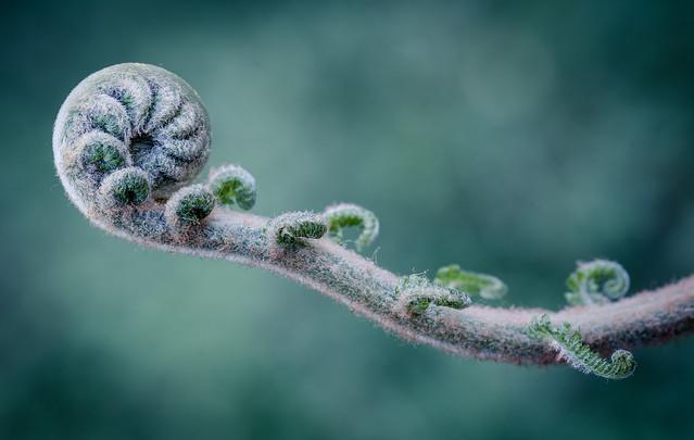 Rough tree fern frond starting to unfurl