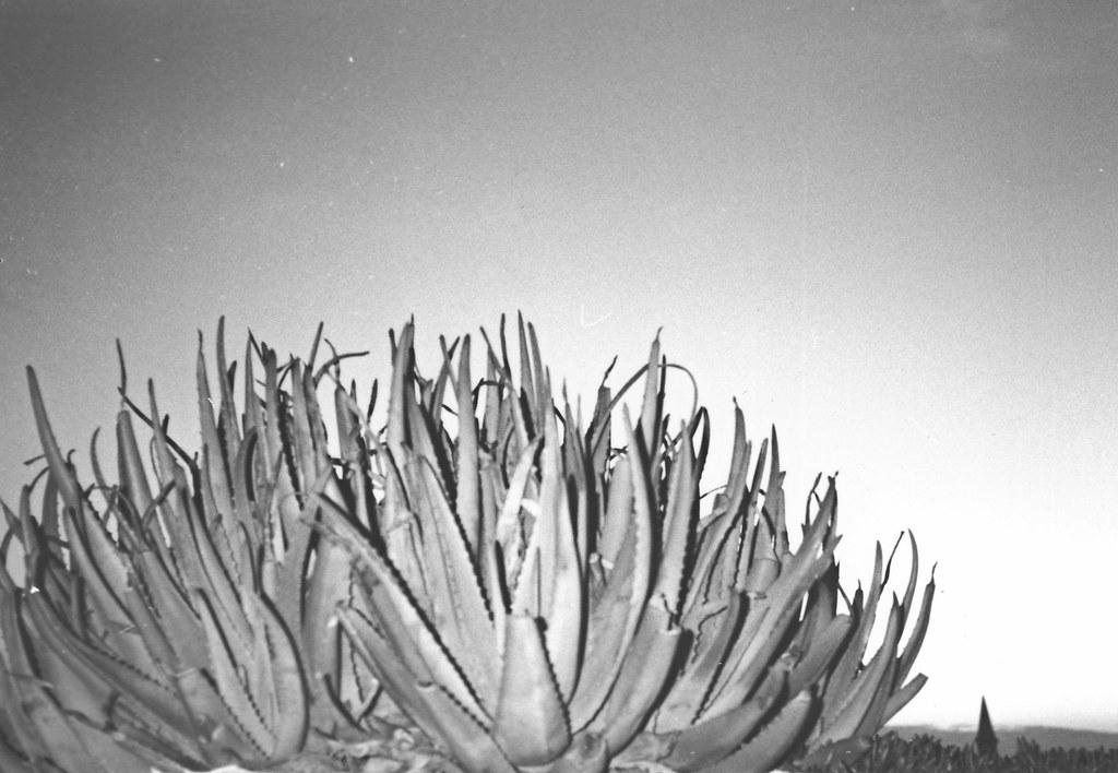 Ceci n'est pas un cactus