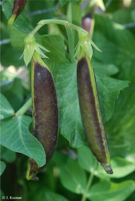 Peas -