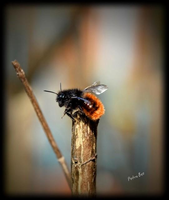 Hornfaced bee (Osmia cornuta) 🐝💞