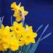 Daffodils in Mosaic