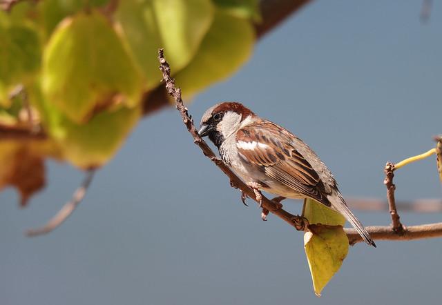 1DX31174 View Large. Male House Sparrow. Kāʻanapali, Maui Hawaii