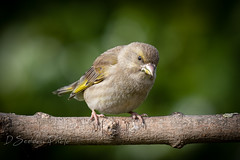 Female Greenfinch in the Garden today