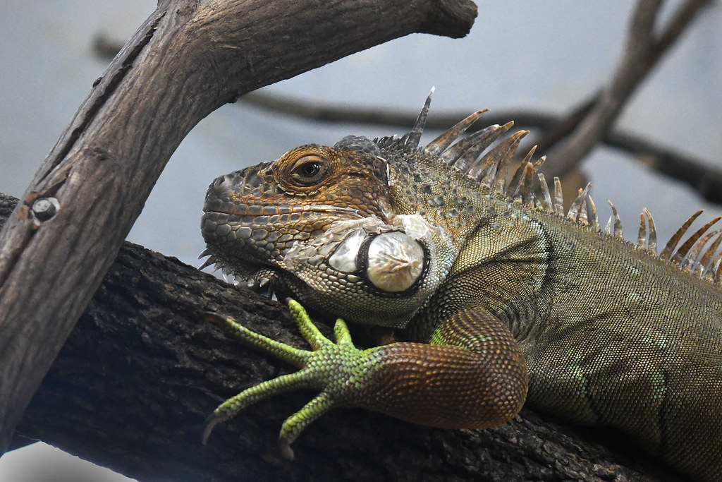 Green Iguana (Elmwood Park Zoo)