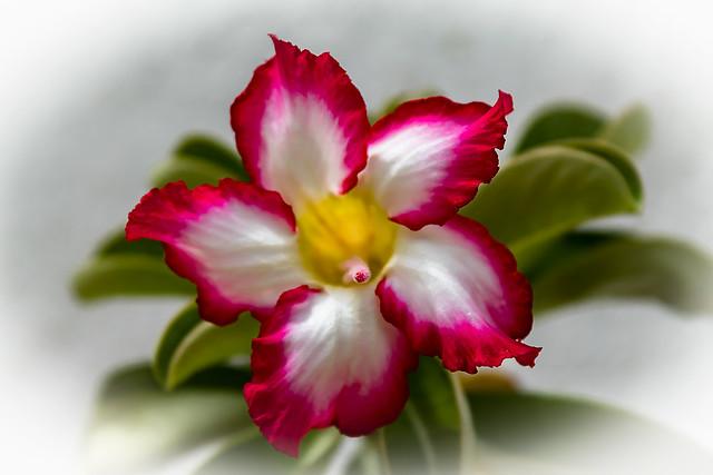 Desert Rose III / Rosa do Deserto III
