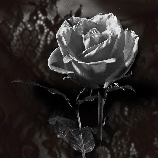 Présentation de la Rose