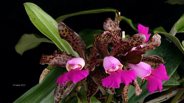 Cattlleya leopoldii x Cattleya Peckhaviensis