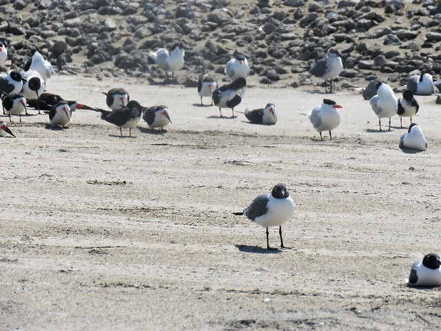 royal terns, laughing gulls, black skimmers2; crystal beach
