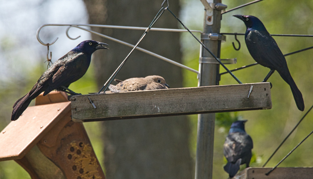 Grackles and a Dove