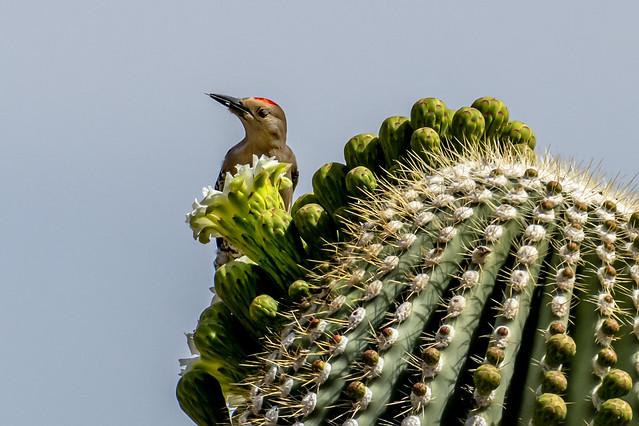 Gila Woodpecker on Saguaro-2