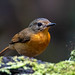 Hill blue flycatcher - Female