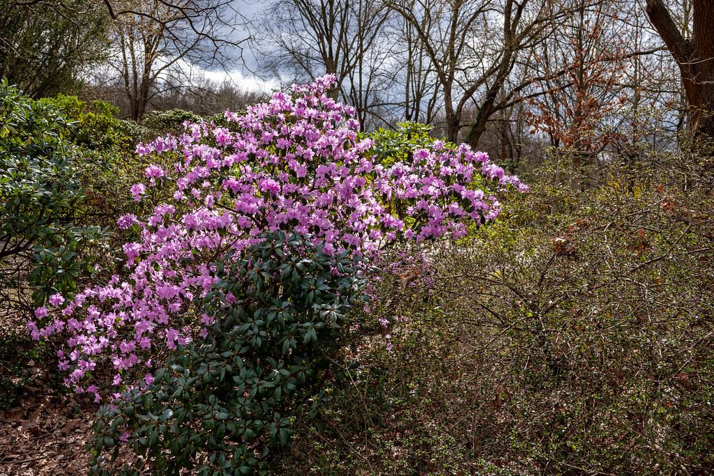 Berlin, Gärten der Welt: Der erste voll erblühte Rhododendron - Berlin, Gardens of the World: The first rhododendron in full bloom