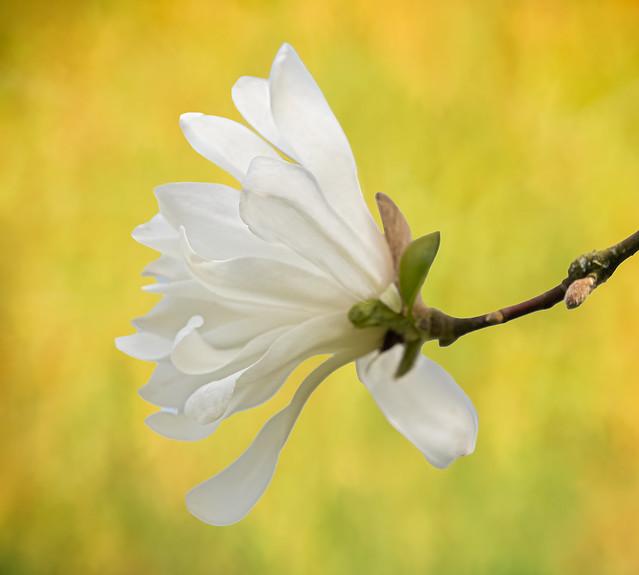 A white magnolia in the sunlight