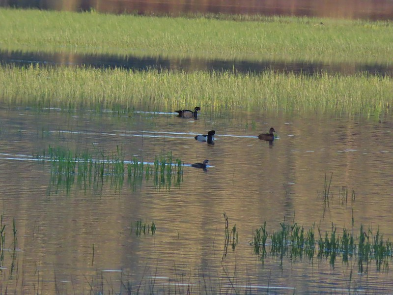 Wood duck, ring-necked ducks and a pie billed grebe