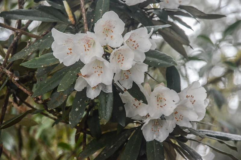 杜鵑花開 (1)