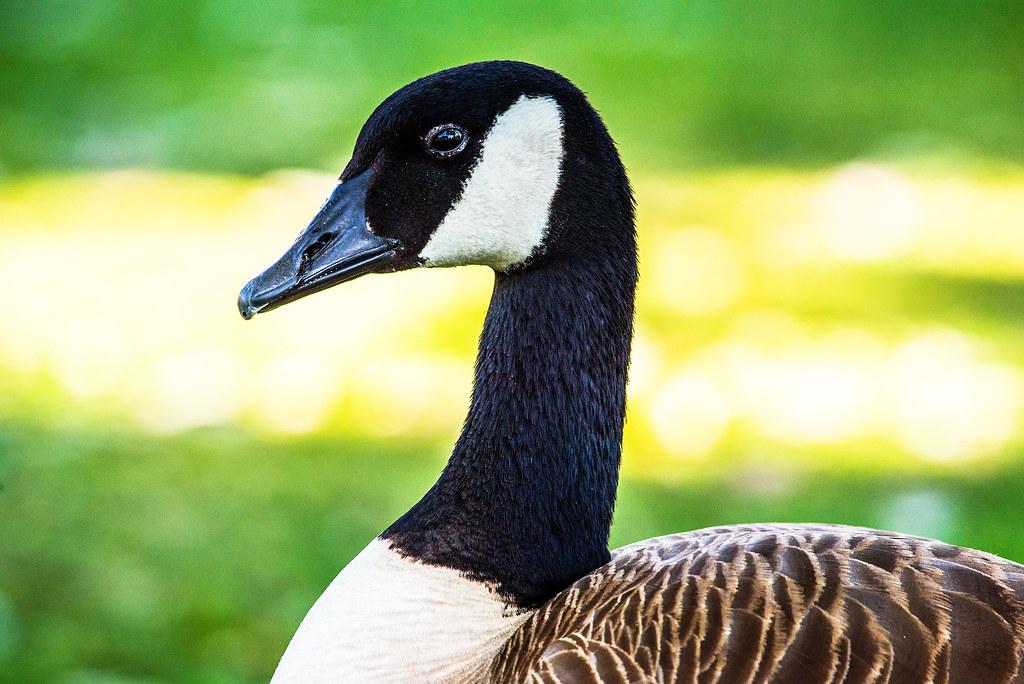 Canada Goose _GML5209