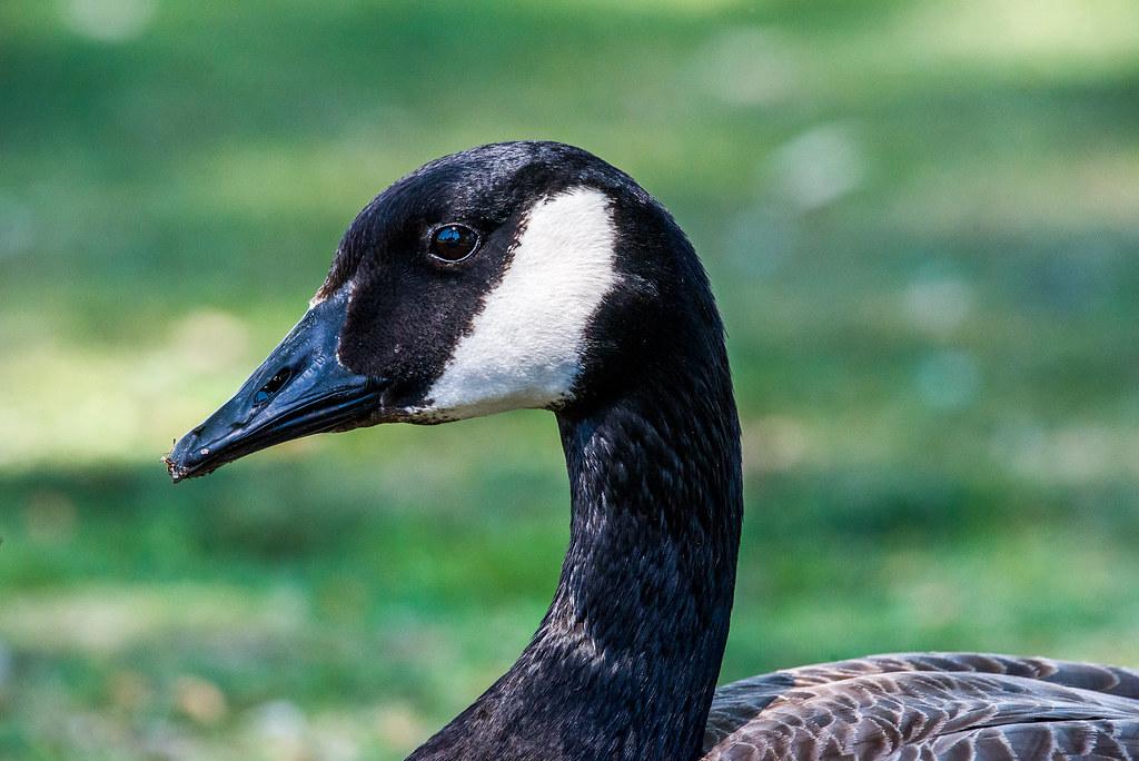 Canada Goose _GML5180