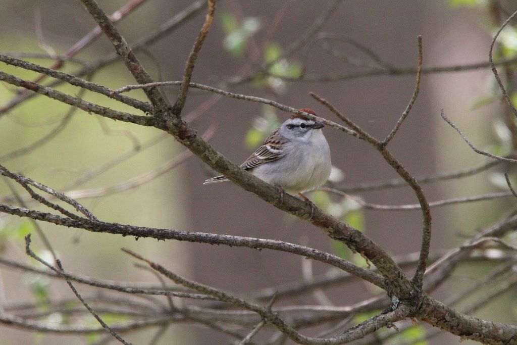 CHIPPING SPARROW (36)