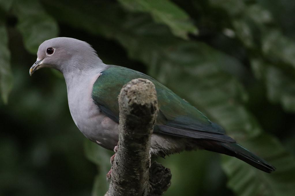 Green Imperial Pigeon, Hongkong Park Aviary, Hong Kong, China, Nov. 2016