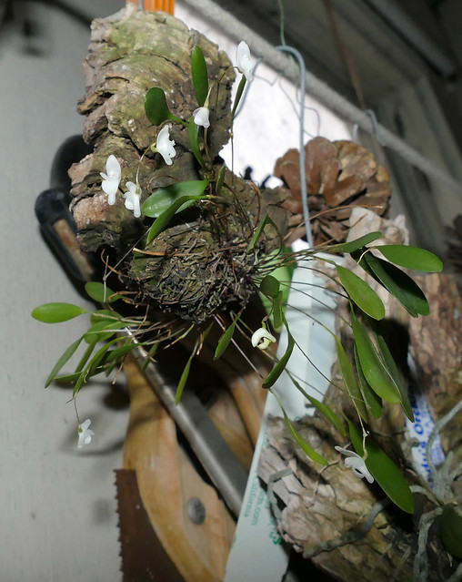 Pleurothallis (Pabstiella) mirabilis species orchid 3-21