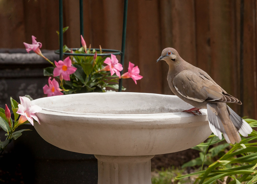 Willie... the White-winged Dove