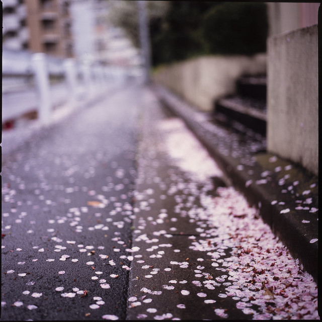 Sakura on film_Cherry blossom