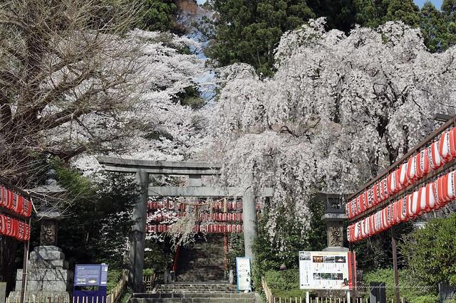 桜が萌える