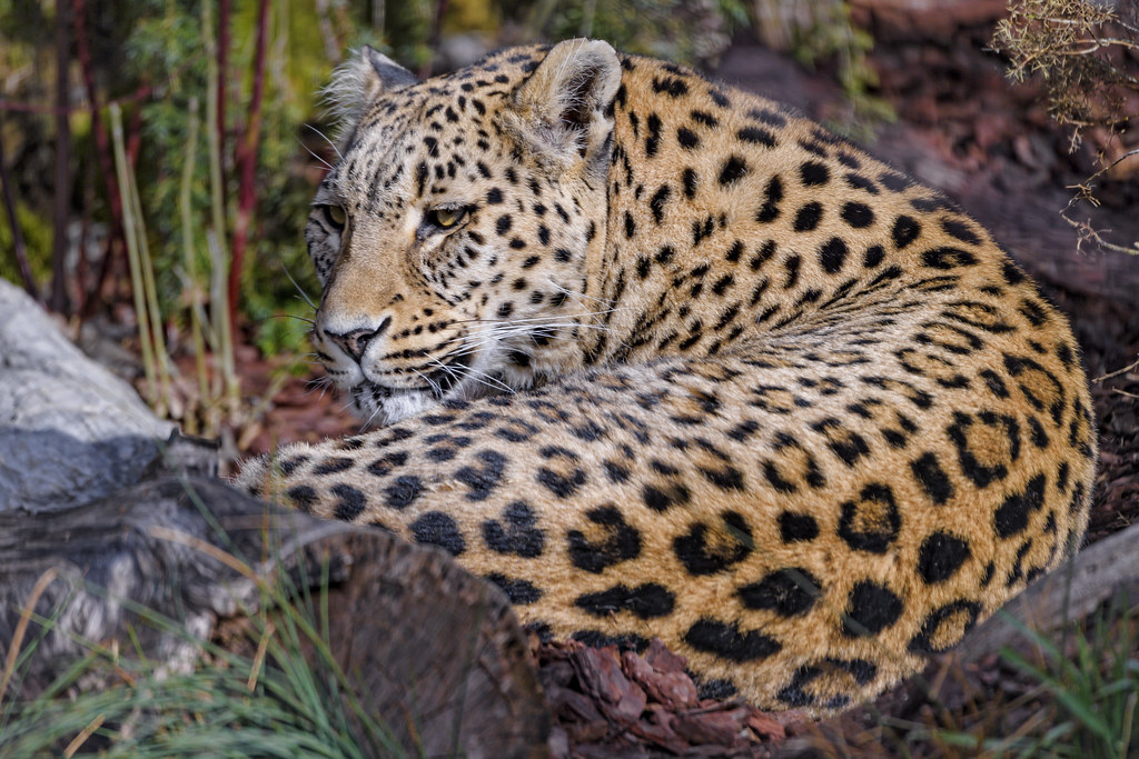 Leopardess in a nice setting