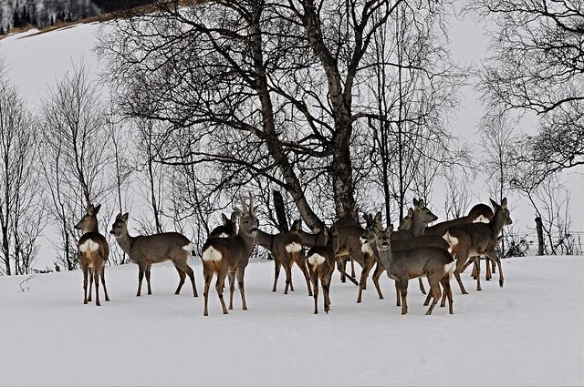 this winters flock - 14 roe deer