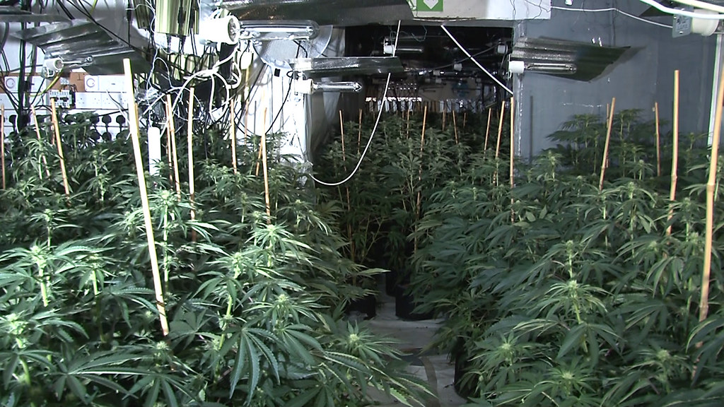 Huge Cannabis Farm With 4000 Plants In Manchester City Centre
