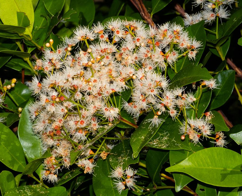 Australian native Syzygium oleina (Orange Burst Lilli Pilli) - home garden, Darwin, Northern Territory, Australia
