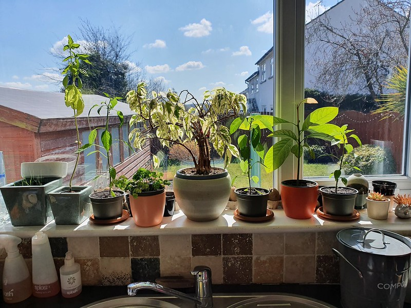 Windowsill. Bigger chillies, new Brussels sprouts and basil seedlings