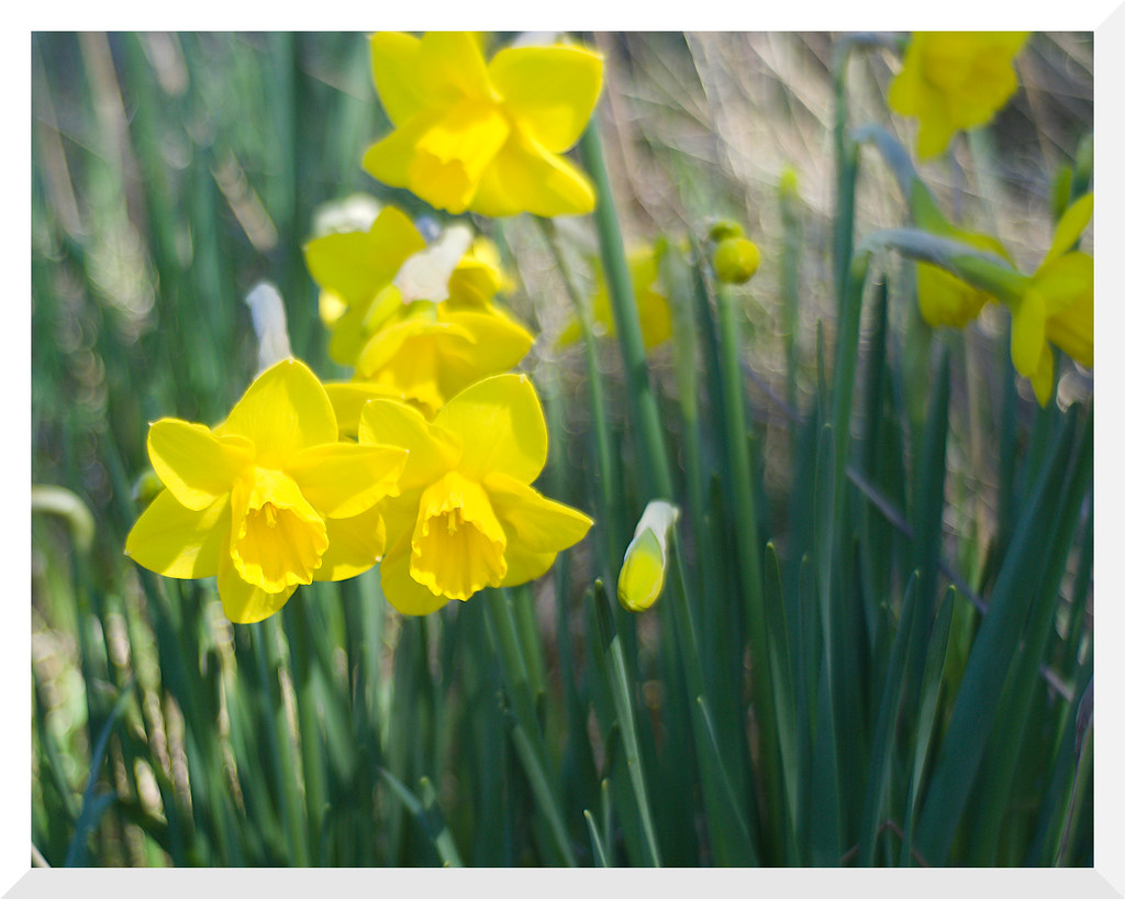 Wild Daffodils - Olympus OM-D E-M10 Mark II with Legacy Tokina Wide-Auto 1:2.8 28mm Prime (M42 Mount) with Fotodiox M42 to M43 adapter