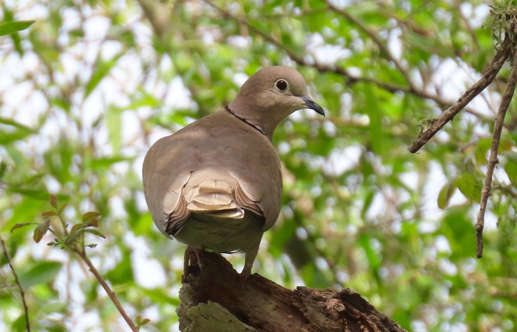 Eurasian Collared-Dove (Streptopelia decaocto), Morro Bay, CA