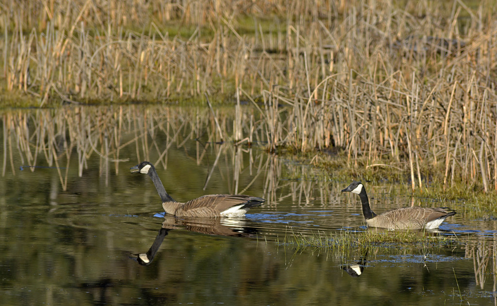 Canada Goose ; Branta canadensis