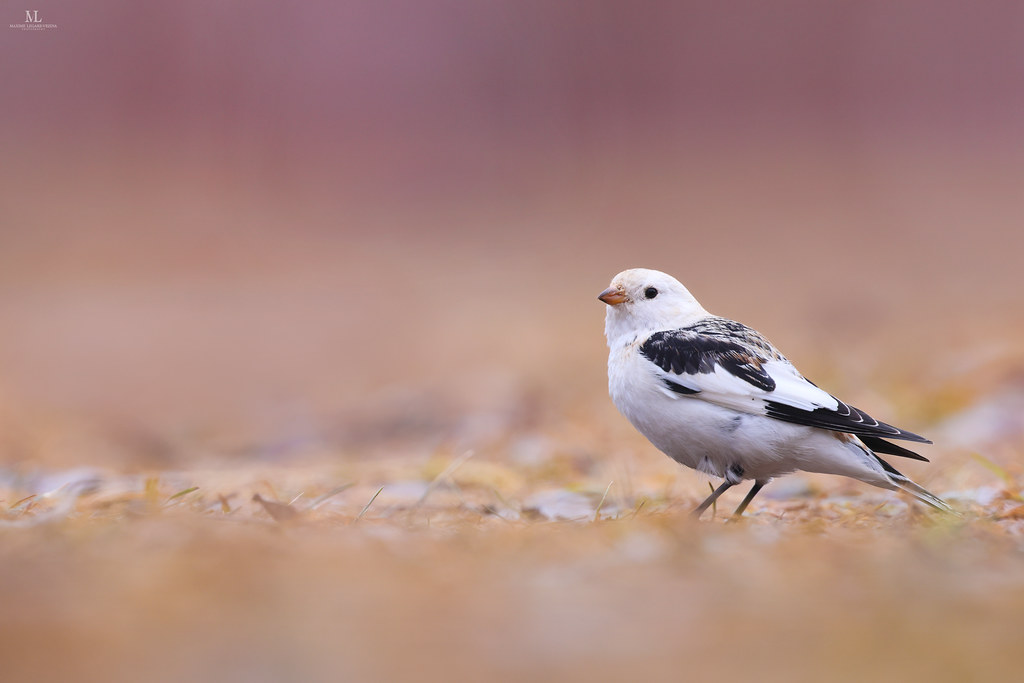 Snow bunting  - Plectrophane des neiges - Plectrophenax nivalis