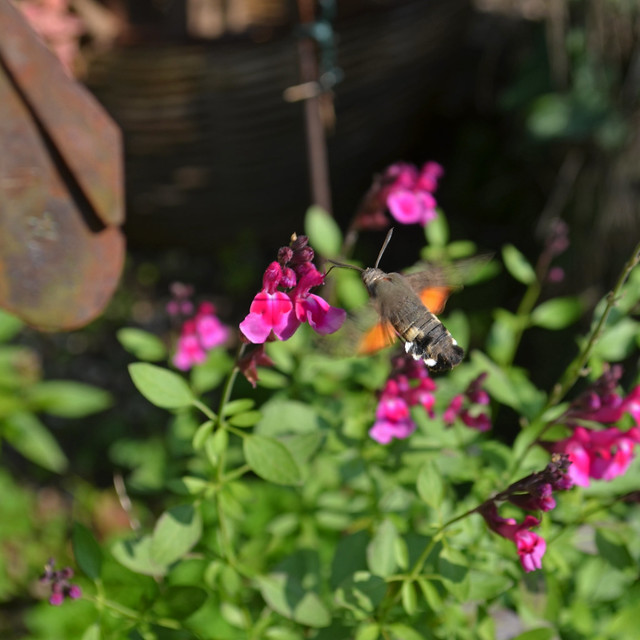 Hummingbird Moth [Strassoldo - 18 October 2020]