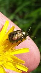 Ku00e4fer (unbestimmt) (Coleoptera indet.) (1)