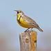 248A3140 meadow lark