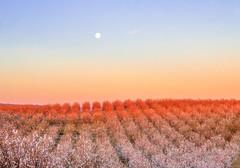 Almond Orchard Moonset