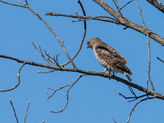 Broad-Tailed Hawk?